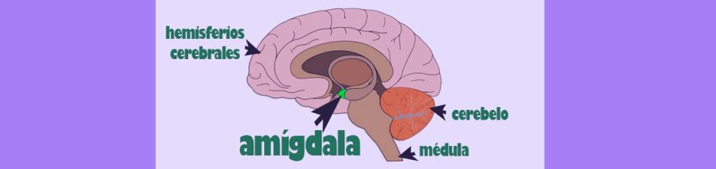amígdala-cerebro-psicología